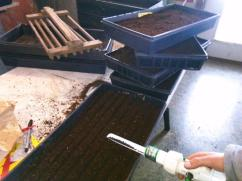 Sowing onions