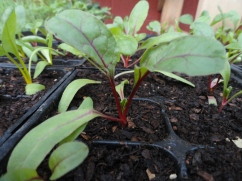 Ruby Red Chard, lazily stretching out in the sun.