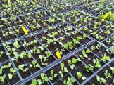 An army of seedlings!