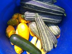 The coy arrival of the first wave of summer squash
