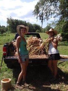 Harvesting the garlic