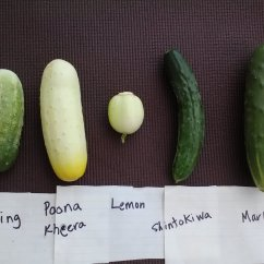 Meet the 5 cuke varieties we have this year.