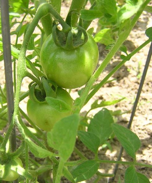 Green Tomatoes!