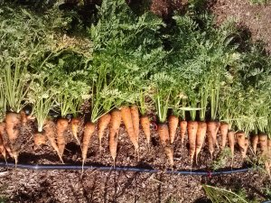 Not much is more satisfying than pulling a perfect carrot out of the earth.