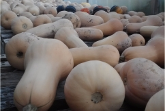 Winter squash curing in the hoop house