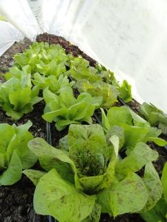 Gorgeous forrellenschluss romaine lettuce under row cover
