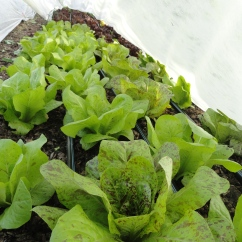 Gorgeous forrellenschluss romaine lettuce under row cover
