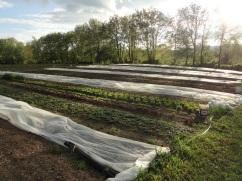 Early season field