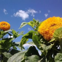 Oh, the glory of sunflowers in summer!
