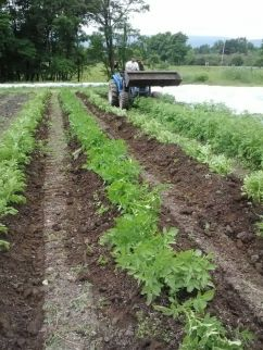 Wes hilling the potatoes to enable more tuber growth