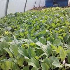 Little kohlrabi in the the hoophouse