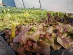 Lettuce transplants ready to go into the field