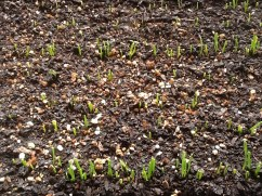 2013's onion sprouts