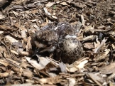 A killdeer chick!