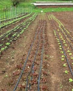 Your lettuce, spinach and peas making good progress (early May)