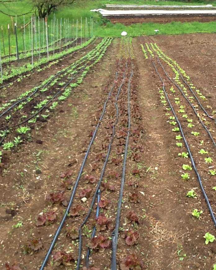 Your lettuce, spinach and peas making good progress