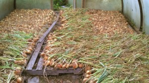 onions harvested