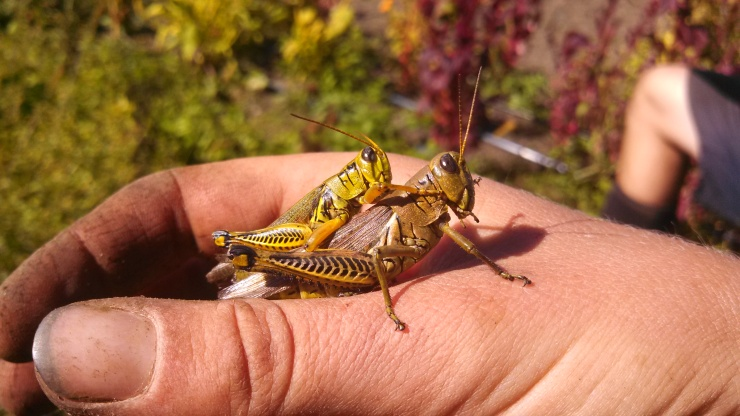 Mating grasshoppers (the male is on top)--perhaps lewd of me, but these coupled bugs are everywhere right now!   Fun fact: mating can take them 45 minutes to 2 whole days.   One cool thing is that they hop around this way, too.