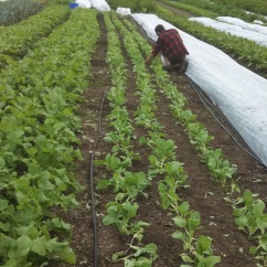 Wes Thinning Bok Choy