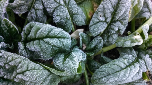 Frosty spinach this morning