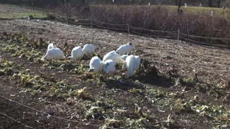 Four Winds Farm turkeys dining on the remnants of the chard plants!