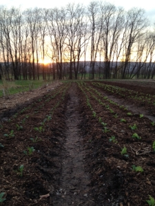 The sun sets on the newly transplanted kale.