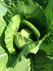 The cabbages are heading up and looking like big green roses.