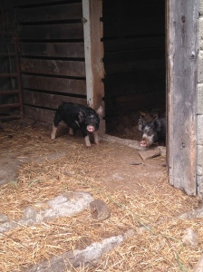 The pigs are growing up!