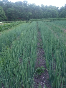 Remember that picture of a small cart full of trays of onions seedlings?  That turned into this sea of onions!
