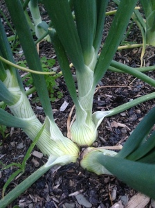 Happy onions growing in a bunch