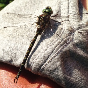 Had a visitor on my shoulder while doing some planting
