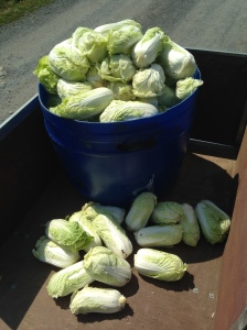 All of the Napa cabbages from last week