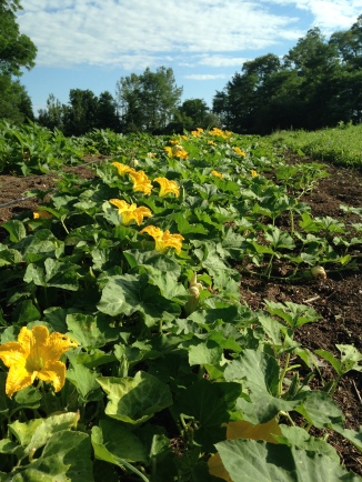 The winter squash field in full bloom early in the morning