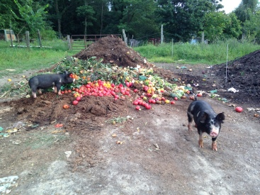 The pigs enjoying their tomatoes