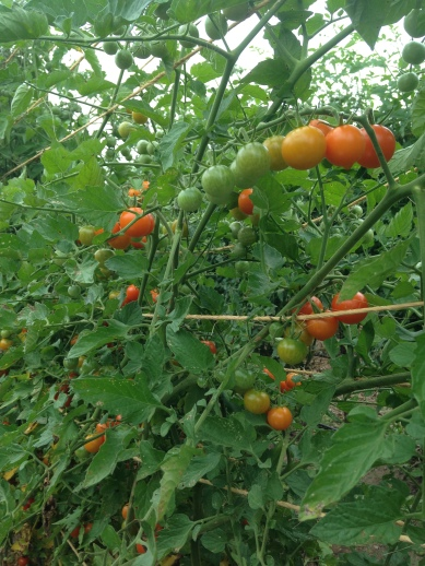 Trellised cherry tomatoes