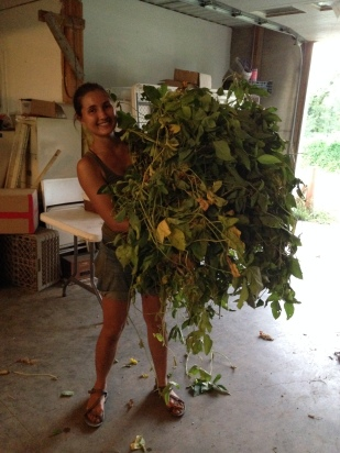 Hauling mountains of edamame into the barn