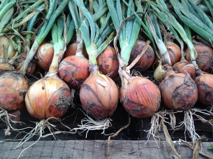Some of your onions, harvested and all lined up to dry