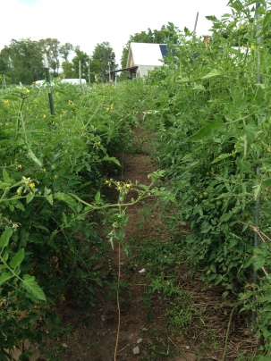 Tomato jungle--time to catch up on some trellising!
