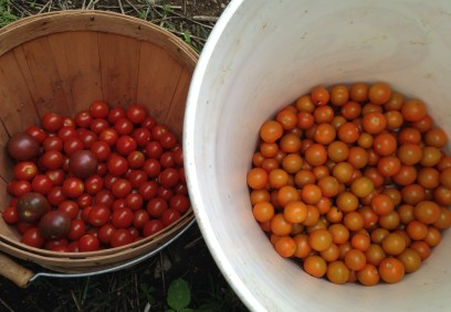 Cherry tomatoes of all colors!