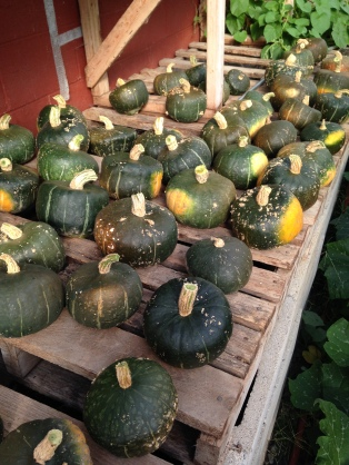The winter squash harvest has officially begun. Here are some Buttercups curing for the next couple of weeks in the greenhouse.