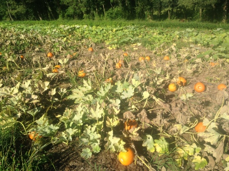 Since it's September now (and the winter squash will be here before you know it!), it only seems right to start off with a picture of the Pumpkin Patch.  You all better be ready to make some pies.