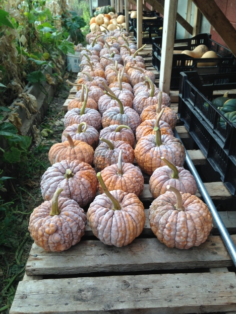 Black Futzu pumpkins curing in the greenhouse.