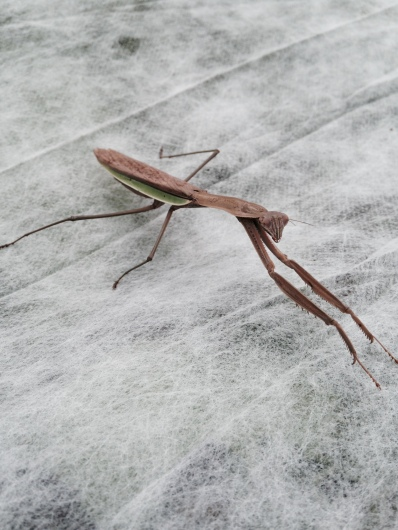A praying mantis keeping watch over your braising mix today