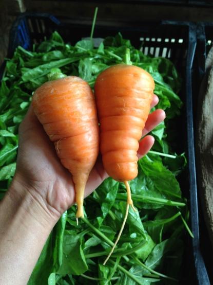 Big fat fall carrots