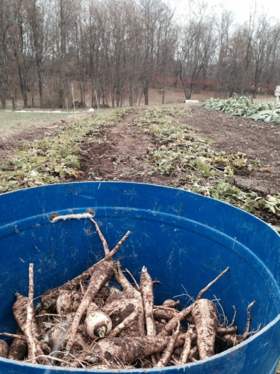 Harvesting lots of parsnips isn't easy…especially when it starts snowing!