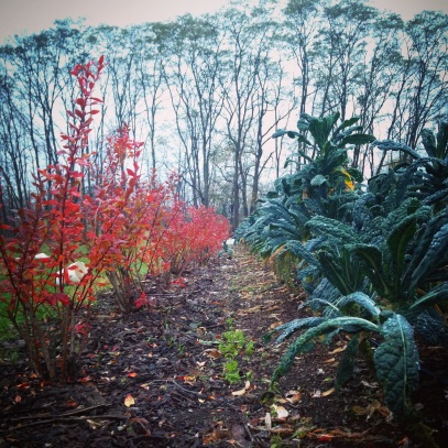 The dino kale and blueberry bushes in fall