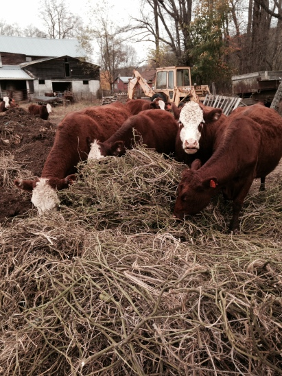 The tomatoes finally made their way into the compost.  I had no idea cows liked tomato leaves so much, but honestly, these are some happy cows!