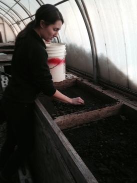 Sifting, sifting, sifting for the potting mix.
