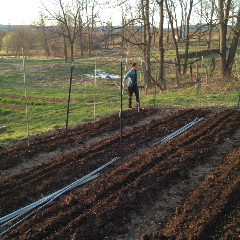 Building the trellis for our soon-to-emerge peas