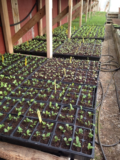 Kale and onion seedlings enjoying early spring in the greenhouse